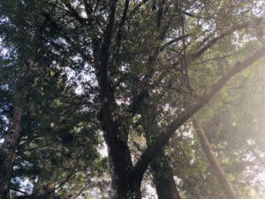 御山杉フリー写真